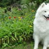 Samoyed dogs flowers garden HD wallpaper