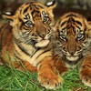 Animals tigers cubs bengal baby HD wallpaper
