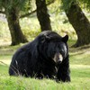 Black bear HD wallpaper