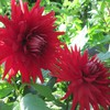 Twins rouge dahlia  HD wallpaper