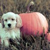Dog with pumpkin HD wallpaper