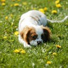 Animals dogs spaniel HD wallpaper