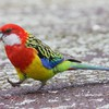 Birds parrots HD wallpaper