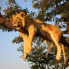 Trees animals africa lions safari HD wallpaper