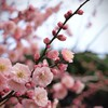 Cherry blossoms flowers pink blurred background HD wallpaper