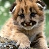 Cute lion cub HD wallpaper