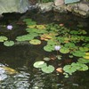 Lotus in the pond at garden HD wallpaper