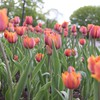 Tulpen aus ottawa park  HD wallpaper