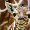 Amsterdam the netherlands baby animals giraffes HD wallpaper