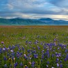 Mountains landscapes fields california meadows blue flowers wildflowers HD wallpaper