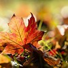 Nature leaves maple leaf autumn HD wallpaper