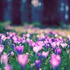 Flowers spring crocus depth of field purple park HD wallpaper