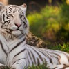 Animals grass tigers tigress white HD wallpaper