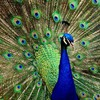 Peacock displaying HD wallpaper