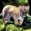 Animaux tigres sauvages  HD wallpaper