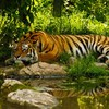 Tiere Natur Tiger  HD wallpaper