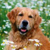 Animals dogs golden retriever daisies HD wallpaper