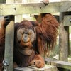 Animals apes orangutans HD wallpaper