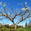 Prunus salicina in the top of hill HD wallpaper