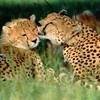 Animals cheetahs feline baby HD wallpaper