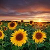 Fields nature sunflowers yellow flowers HD wallpaper