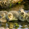Animals baby birds duckling ducks HD wallpaper