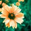 Orange macro flowers HD wallpaper