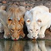 Nature white animals lions albino drinking HD wallpaper
