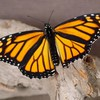 Butterflies insects monarch nature HD wallpaper