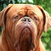 Mastiff animals dogs dogue de bordeaux head HD wallpaper