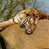 Tiere Tiger  HD wallpaper