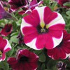 Beautiful peppermint petunias HD wallpaper