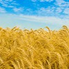 Golden nature wheat HD wallpaper