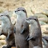 Animals otters HD wallpaper