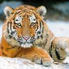 Animals tigers feline HD wallpaper