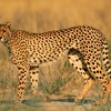 Animals leopards wildlife HD wallpaper
