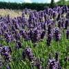 English lavender HD wallpaper