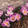 Striped crocus HD wallpaper