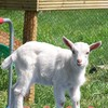 Animals grass grid goats baby HD wallpaper