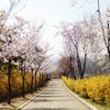 Cherry blossoms park spring HD wallpaper