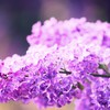 Flowers lilac pink HD wallpaper