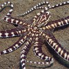Ocean sand octopus cephalopod HD wallpaper