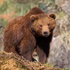 Animals bears HD wallpaper
