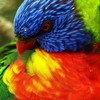 Birds multicolor parrots rainbow lorikeet HD wallpaper