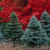 Pine trees in forest HD wallpaper