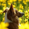 Collie in meadow HD wallpaper