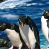 Penguins rockhopper HD wallpaper