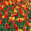 Holland michigan elite parks tulips HD wallpaper