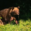 Animals bears brown HD wallpaper