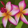 Flowers plumeria HD wallpaper